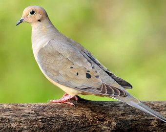 Mourning Dove, bird, nature, photo, print, nature photography, wall art, home decor, free shipping
