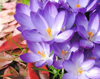 Photo of purple crocuses with red fallen leaves