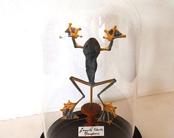 "Globe Cabinet of curiosity, frog flying ""Rhacophorus male"""