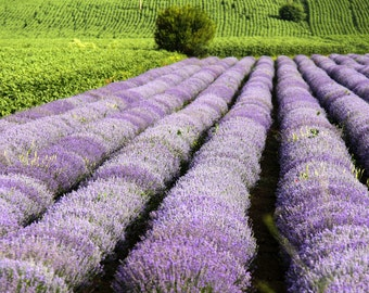 botanical photography, wall flowers, Art photo of lavender, picture lavender field, decoration lavender, purple colors, art wall