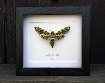 Oleander Hawk Moth (Daphnis nerii) Framed Moth