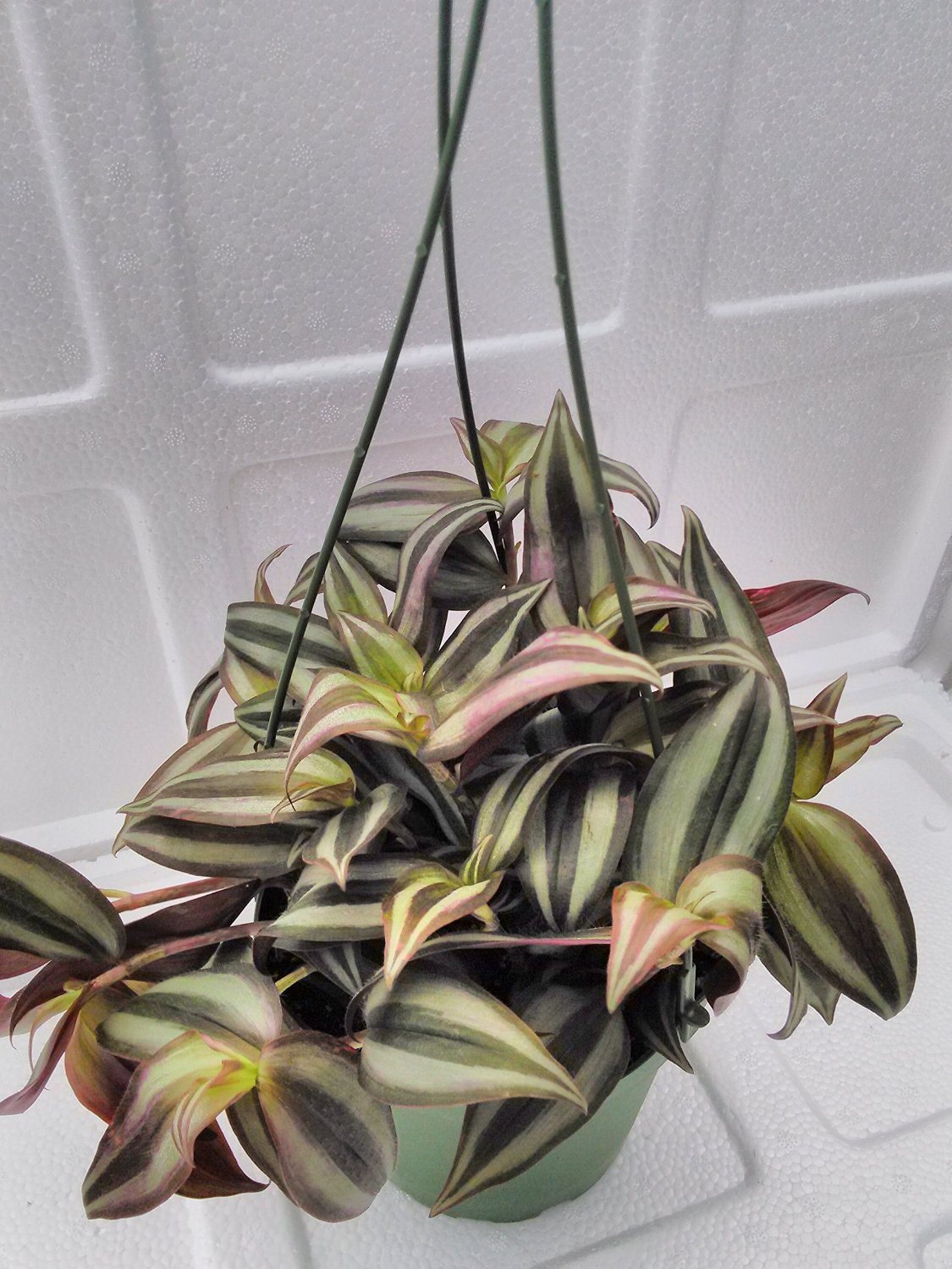 how to kill wandering jew australia