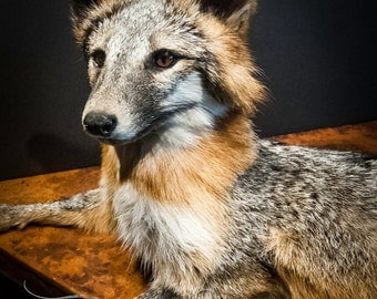 Gorgeous Vintage Grey Fox Taxidermy Mount