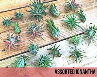 10 assorted Tillandsia IONANTHA air plants - FREE SHIP treasury wholesale bulk lot collection