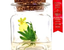 Award Winning Maintenance Free Orchid.  Live Plant Terrarium, Watering free, Miniature Garden. No Green Thumb Needed, Great Gift!