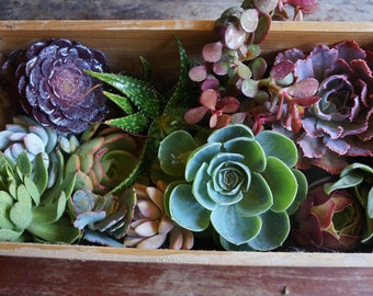 "Assorted Medium-Large Fresh Succulent Cuttings (3""- 5"")"
