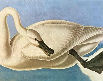 Audubon Trumpeter Swan American Bird Fine Art Poster Repro FREE SHIPPING in USA