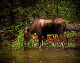 Canadian Moose Canvas Wall Art