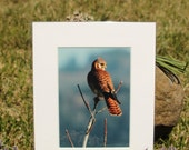 American Kestrel Photo...