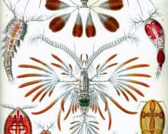 Haeckel Copepoda Sea crustacea Digital vintage artwork Printable poster Download craft supplies scrapbooking decoupage Ihappywhenyouhappy