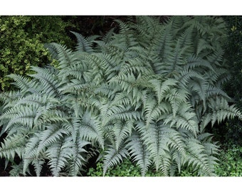 Ghost Fern, Athyrium, 3 Plants, Perennial, Deciduous, Silvery Gray Leaves, Versatile Fern, Distinctive, Divided Fronds, Foliage, Beautiful