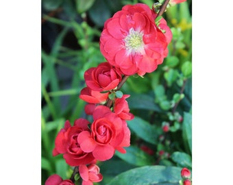 Double Take Chaenomeles Scarlet Storm Flowering Quince, PW, Large Red Flowers, Thornless, 1 Quart Potted Plant, Double Flowers, Beautiful