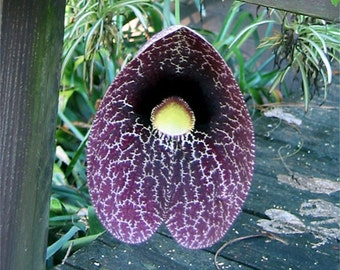 Aristolochia Littoralis Vine, 10 Seeds Calico Flower, Elegant Garden Dutchman's Pipe, Attracts Butterflies