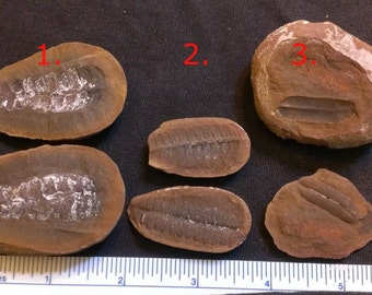 1 Pair of Plant Fossils AB6