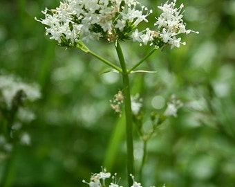 The Indies washed root Valerian in bulk - bag of 100 g for herbal tea