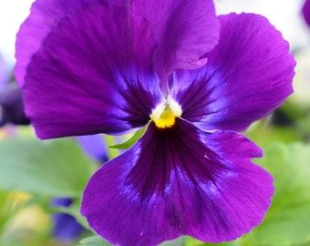 Purple Pansy Photograph #178