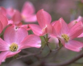 Pink Dogwood Blossoms Photograph #157