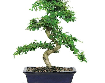 Fukien Tea Bonsai (Indoor)