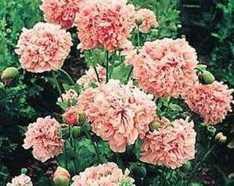 Pale Rose Peony Poppy Flower Seeds/Papaver/Annual   100+