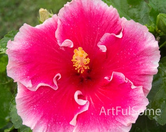 Art photography of fushia pink Hibiscus flower in full bloom, with fresh raindrops.