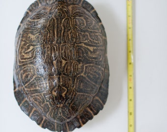 "10-12"" Natural Turtle Shell"