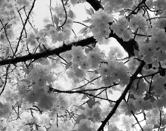 Cherry Blossom Black and White
