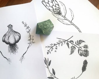 Black and White Botanical Illustrations: Garlic & Thyme, Belladonna, Viola, Protea, Healing Wreath or Plantain/Ribwort