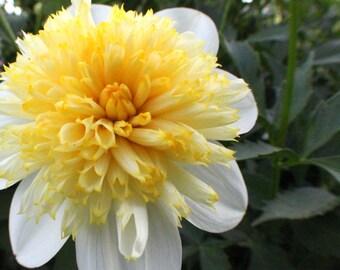 Dahlia Macro White Yellow #4 Color Photography Digital Art Download