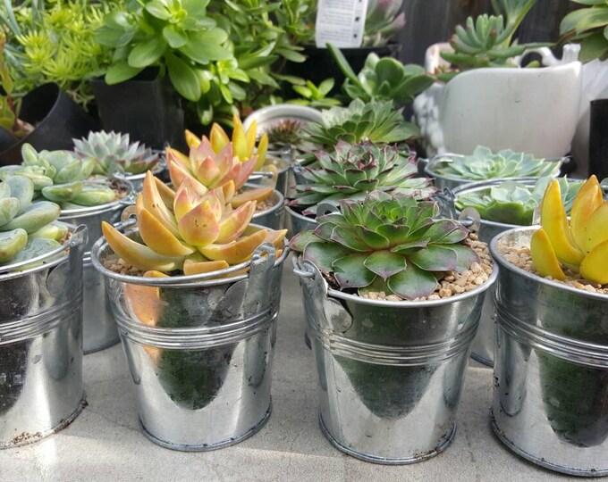 8cm succulent wedding favors bombonerrie tin pail bucket bright colour rosette succulents for wedding favours baby