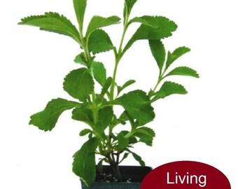 Sugar Leaf Plant Stevia rebaudiana Seedling Plant