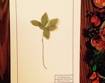 Herbarium Trientalis europaea