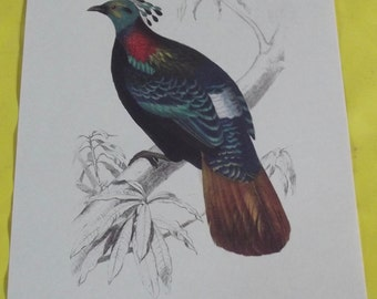 Displays School Zoology Birds Lophophore Resplendent in 1970.