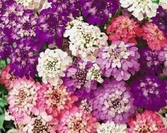 50+ Iberis Umbellata Mix / Candytuft Evergreen / Flower Seeds