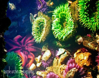 "Starfish Photography, Sea Star, Tide Pool, Ocean Decor, Nature Print, Green Anemone, Sea Urchin, Sea Life, Home Decor, ""Vegas Star"""