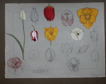 Original French botanical study in watercolor and gouache