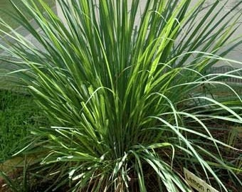 Lemon Grass 100 Seeds herb