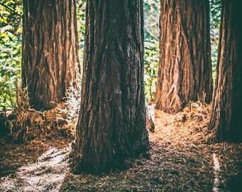 Redwood tree forest photo print