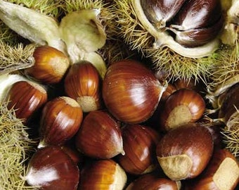 Chinese Chestnut Tree (2 Pack)