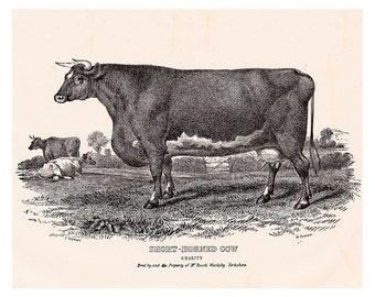 antique cow print, a vintage printable digital image,  no. 701