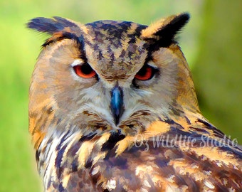 Great Horned Owl -  Unmatted Print