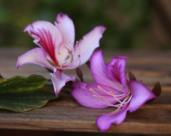 Orchid tree seeds, Bauhinia species, purple-pink flowers