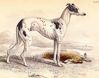 The British Greyhound . Antique Canine Dog Print Vol II . original old engraving vintage plate circa 1850