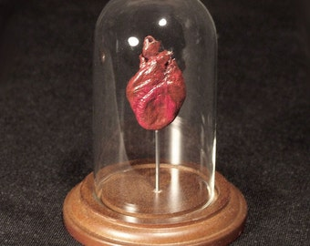 WILDCAT HEART DOME real animal heart natural history display for cabinet of curiosities or Valentine's day gift
