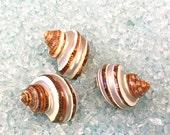"Seashells -  3 Turbo Shells - 2"" - 2.25"" beach decor/bulk shells/shell supplies/sea shells"