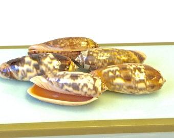 "Seashells - 5 Polished Olive Shells  2.25""- 2.5""  - Ivory, Brown and Peach"