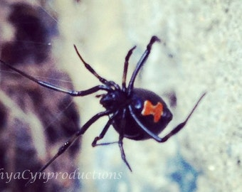 "Spider Unframed Photography Giclée Print. ""Black Widow"" ChyaCyn productions. Art Wall Photo. arachnid creepy bug"
