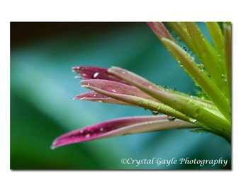 Gerbera Daisy Photography, Flower Print, Macro Waterdrop, Magneta Pink And Green Home Decor,  Art Interior Design, Peridot Gift for Mother