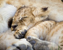 Animal Nursery Decor, SLEEPY BABY LION Photo, Baby Animal Photograph, Wildlife Photography, Wall Decor, African Safari, Cute, Lion Cub, Cat