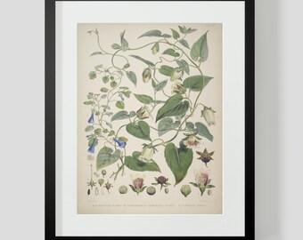 Botanical Illustration Himalayan Plate XVI (16)