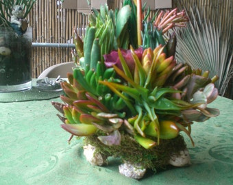 Growing Succulent Plants Conch Shell
